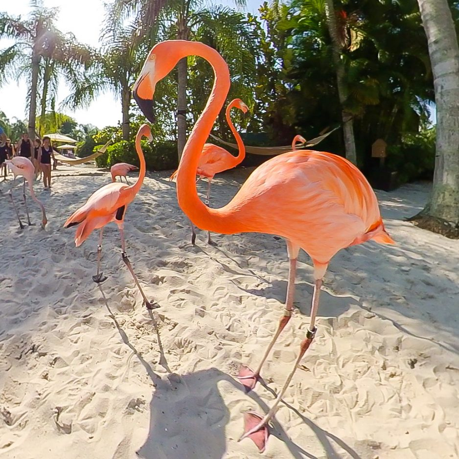 Discovery Cove Flamingo - shareOrlando 01